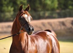 GHANYAH ATHBAH   II (Majed Al-Shehri   ) Tags: horse festival photography jj mac nikon flickr c x ali explore saudi eden about arabian majed baska 70200mm 2011   shehri         d3s khalediah alshehri  shehrim imajed athbah ghanyah