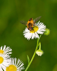 Eristalis cerealis, , Striped Flower Fly, Enjoying Fleabane Flowers (aeschylus18917) Tags: park pink flowers flower macro nature yellow japan season insect tokyo fly weed nikon seasons   nikkor  nerima syrphidae diptera pollination 105mm nerimaku insecta fleabane hikarigaoka 105mmf28 erigeronphiladelphicus eristalis flowerfly   eristalinae hikarigaokapark   philadelphiafleabane 105mmf28gvrmicro  eristalini d700 nikkor105mmf28gvrmicro  eristaliscerealis danielruyle aeschylus18917 danruyle druyle    stripedflowerfly