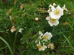 Rosier à feuilles de boucage=Rosa spinosissima ou pimpinellifolia - route Sestrière 252