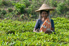 Tea Picker Outside of Srimongal, Bangaldesh (uncorneredmarket) Tags: people tea bangladesh teagardens teaestates manuallabor srimongal teaplantations ruralbangladesh teapickers sylhetdivision sreemangal