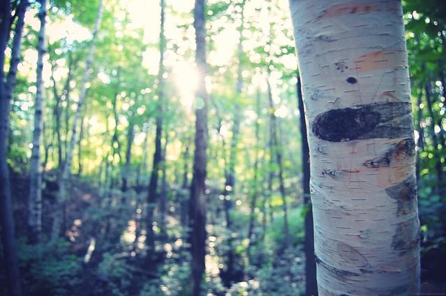 birch.