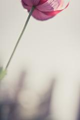 (MMortAH) Tags: flowers plants flower nature 50mm nikon bokeh 14 dream poppy nikkor d90