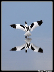 An Avocet just landing on the water (dralun10) Tags: birds reflections ngc npc wwt avocet welney britishbirds