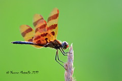 Rudolph, the red nosed..... (Yvonne Metcalfe) Tags: canada nature insect dragonfly barrie odonata halloweenpennant