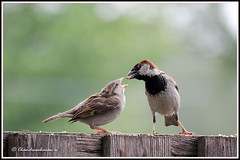 1385 house sparrow (male) feeding the chick (chandrasekaran a 546k + views .Thanks to visits) Tags: travel nature birds boston housesparrows canon60d stunningphotogpin best4gpin bestphoto4gpinaug2011