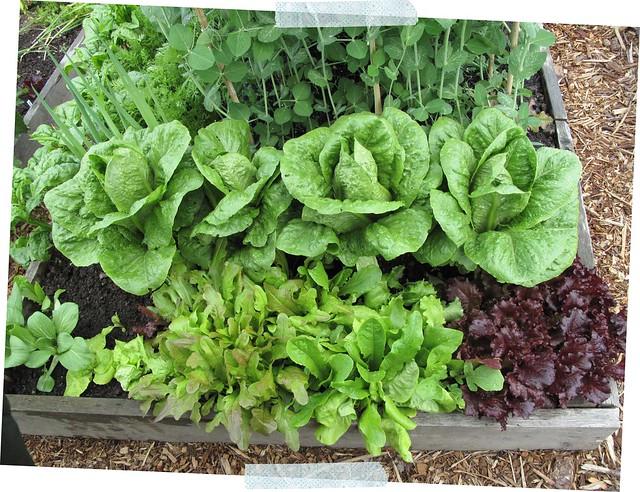 lettuces & pak choy