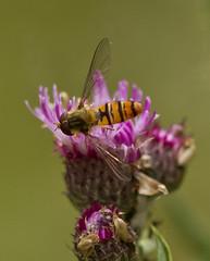 _MG_0047 Hover Fly (Episyrphus balteatus) on Purple Loosestrife (Lythrum salicaria), Brandon Marsh, Warwickshire 12Jul11 (Lathers) Tags: brandon warwickshire hoverfly episyrphusbalteatus nbw canonef300mmf4lisusm brandonmarsh canon7d wildinthemidlands wkwt 12july11