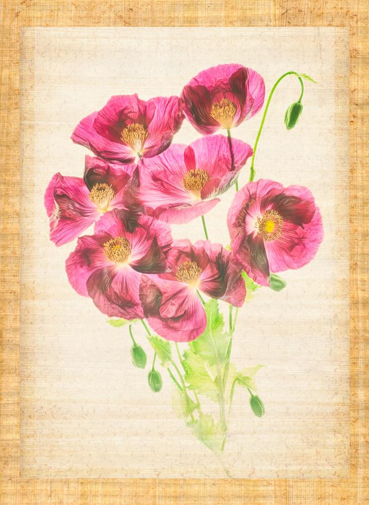 Opium Poppies © Harold Davis