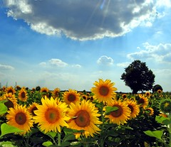 Flowers in the sun (Tobi_2008) Tags: trees summer sky nature colors field yellow clouds germany deutschland saxony natur feld himmel wolken ciel gelb sunflowers sachsen tobi bume allemagne germania farben acker sonnenblumen finegold eliteclub heartawards platinumheartaward arealgem spiritofphotography naturescreations qualifiedmembers bestcapturesaoi fleursetpaysages mygearandme mygearandmepremium mygearandmebronze mygearandmesilver mygearandmegold mygearandmeplatinum mygearandmediamond ringexcellence dblringexcellence tplringexcellence chariotsofartists level1photography artistoftheyearlevel3 artistoftheyearlevel4 artistoftheyearlevel5 artistoftheyearlevel7 artistoftheyearlevel6