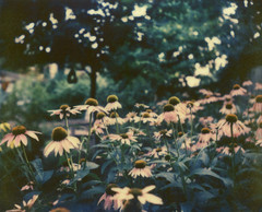 Impossible Echinacea I