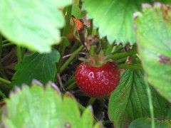 Paisley Stawberries 05