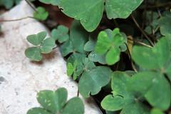 Good Luck!! (Jos Ramn de Lothlrien) Tags: irish green mexico hojas jr suerte trebol humedad treboles producciones lluvias malesa irishluck