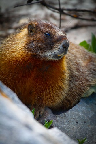 Yellow-bellied marmot-3.JPG