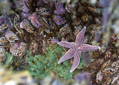 "NHME - sea star in situ 2 • <a style=""font-size:0.8em;"" href=""http://www.flickr.com/photos/30765416@N06/5941278941/"" target=""_blank"">View on Flickr</a>"