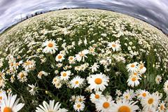 [フリー画像] 花・植物, ヒナギク・デイジー, 花畑, 201107220700