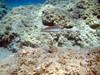 rainbow wrasse (robanhk) Tags: underwater g aegean snorkeling freediving day3 apnea milos rainbowwrasse breathhold μήλοσ greece2011