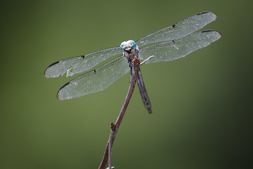 Dragonfly with a damaged wing