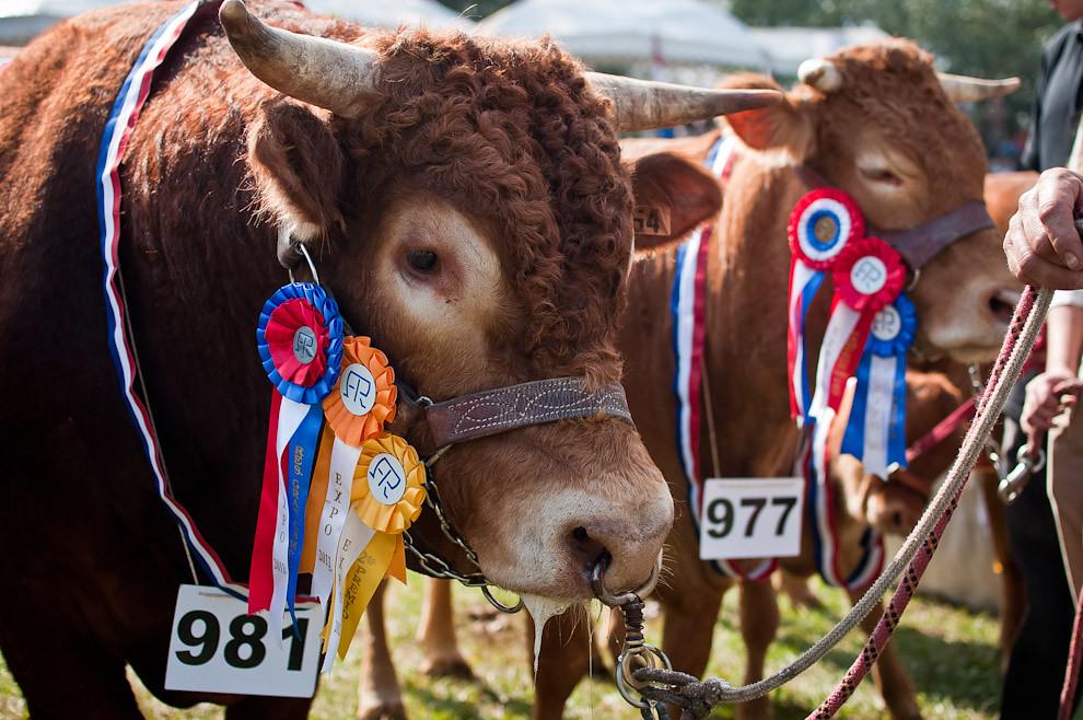 La Expo 2011, otra de las coberturas realizadas por Yluux. Un ejemplar campeón de la raza Brangus es exhibido en el desfile de animales premiados llevado a cabo el sábado 16 de Julio luego de la apertura oficial de la mayor exposición de Ganadería del Paraguay. (Elton Núñez)