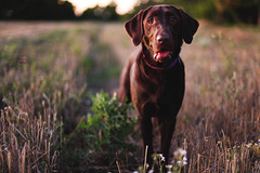 Field Dog (anthonyhelton.com) Tags: dogs lab labrador chocolate retriever mansbestfriend canon50mmf14 5dii highqualitydogs