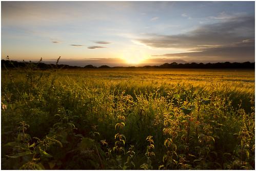 Sunlit Barley Field