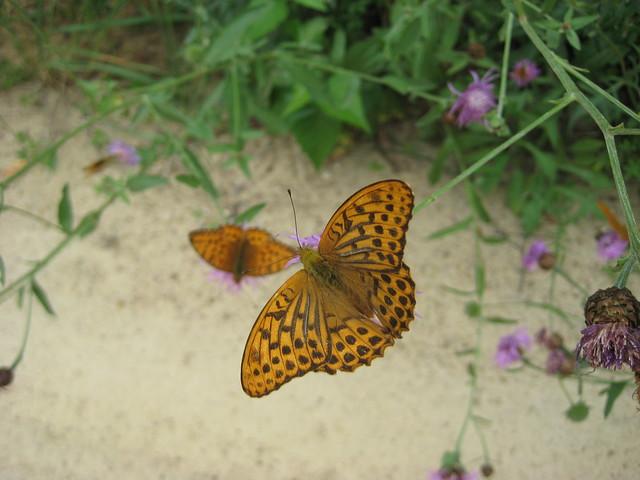 Неизвестная пока бабочка