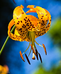 Lilium davidii (CecilieSonstebyPhotography) Tags: flowers blue orange flower macro oslo closeup canon outdoor july botanicalgarden botaniskhage ef100mm macro100mm flowerwatcher liliumdavidii canoneos60d