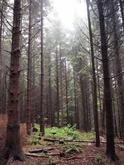 P7238738.ORF (Sigfrid Lundberg) Tags: lund skne sweden gran sverige spruce glade vm spruceforest heliar15mmf45 romelesen granskog voigtlanderheliar15mmf45 glnta veberd