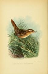 Anglų lietuvių žodynas. Žodis cistothorus platensis reiškia <li>cistothorus platensis</li> lietuviškai.