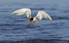 Forster's Tern (Bob Stronck) Tags: forsterstern sternaforsteri shorelinelake gulllikebirds cityofmountainview ©rmstronck stronckphotocom birdsofsanfranciscobay