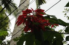 Bali, Ubud - Weihnachtsstern (64) (Chironius) Tags: bali indonesien indonesia blüte blossom flower flowers fleur flor fiore цветок цветение rosids fabids malpighienartige malpighiales wolfsmilchgewächse euphorbiaceae rötlich blüten ubud