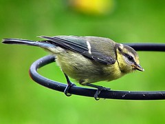 Juvenile Bluetit - Cyanistes caeruleus (Mike Slade.) Tags: youngbluetit juvenilebluetit youngbird bird bluetit cyanistescaeruleus thorneyisland emsworth hampshire uk fujifilmfinepixhs10 ©mikeslade