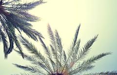 Palms (Florian G. ) Tags: blue sky sun vintage spain sunny palm retro palmtrees palmtree