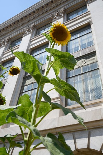 Sunflowers  in the People's Garden at the Department of Agriculture, in Washington, DC, on Monday, August 1, 2011. USDA Photo by Lance Cheung.
