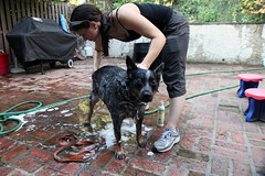 dog wash (dougschneiderphoto) Tags: dog soap hose shampoo patio wash australiancattledog washing blueheeler