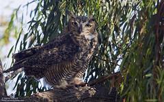 Great Horned Owl (Bob Stronck) Tags: owls alamedacounty greathornedowl bubovirginianus owlet coyotehillsregionalpark hoothollow cityoffremont ©rmstronck stronckphotocom birdsofsanfranciscobay