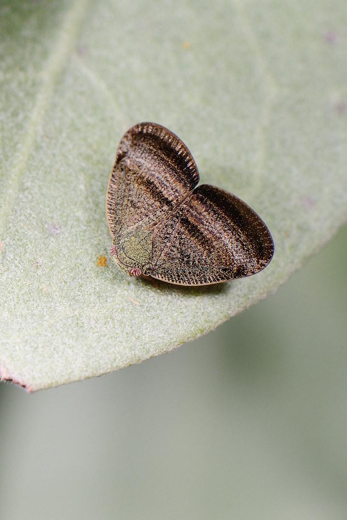 廣翅蠟蟬 Ricanoides flabellum