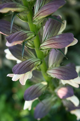 acanthus spinosus bracts