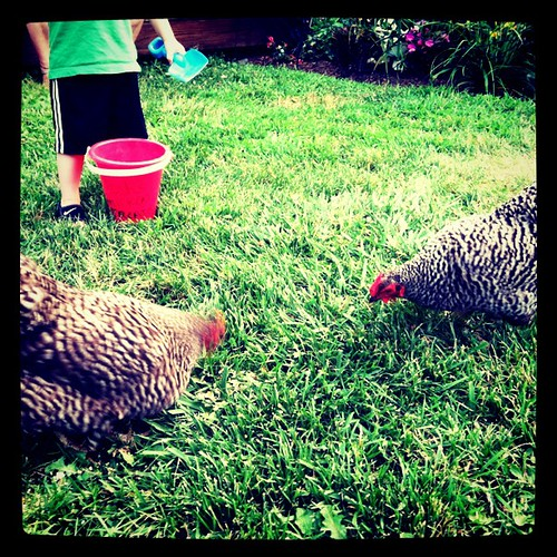 [216/365] Feeding the Chickens by goaliej54