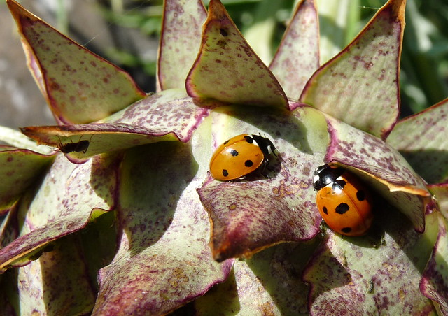 Ladybirds on Cardoon