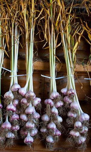 Close-up of drying garlic