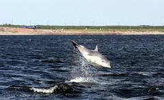 6 August 2011 (DJMS Photos) Tags: scotland highlands dolphins morayfirth tursiopstruncatus bottlenosedolphins chanonrypoint