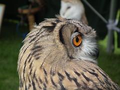 What big eyes (Screwdriver32,more off than on :-() Tags: scotland fuji finepix owl fujifilm highlandgames ayrshire eagleowl dundonald hs10 hs11 myfuji screwy32 screwdriver32 myfjui johnscrewdriver