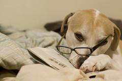 Week 31: Smarty Bull (greenkozi) Tags: rescue dog digital reading glasses oakland book bed mac pit pitbull cliche neutered 35mm14l nearmyhouse buginarug 50d pitmix buthescute 52weeksfordogs orwrite yearofthebug hecantread