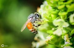 Macro Bee [Explored] (Tareq Abuhajjaj   Photography & Design) Tags: moon white black macro sport speed photography design flying photo high nice nikon flickr top fast insects bee saudi riyadh  2010 ksa tareq    d700 tareqdesigncom tareqmoon tareqdesign  abuhajjaj