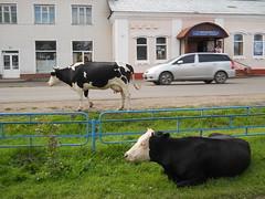 Yeniseisk. Babkin street. (Mashushusha) Tags: street cows citycentre babkin easternsiberia krasnoyarskregion cityyeniseisk 392yearsyeniseisk