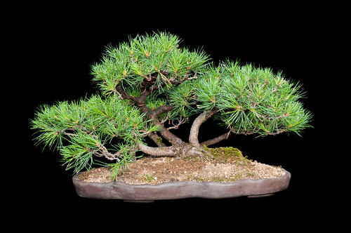 Bonsai by RuudMorijn