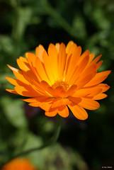 Orange Daisy (times_like_these) Tags: light shadow summer orange sun sunlight flower nature dof belgium bokeh daisy sinttruiden sigma1850mm raynox250 sooc sonyalpha300 smetsine