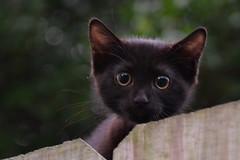 The Kitten (Tobyotter) Tags: cat kitten bokeh kitty gato