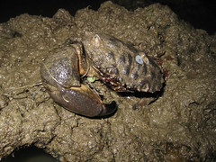 Entangled crab