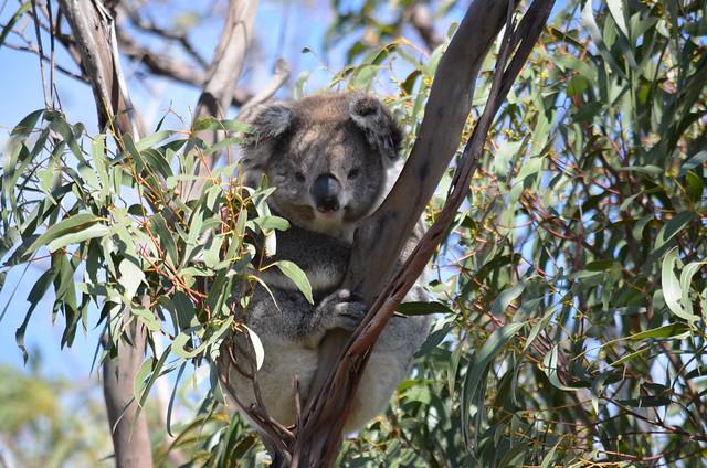 Raymond Island Koala